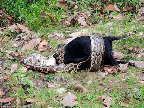 foto cobra gigante python